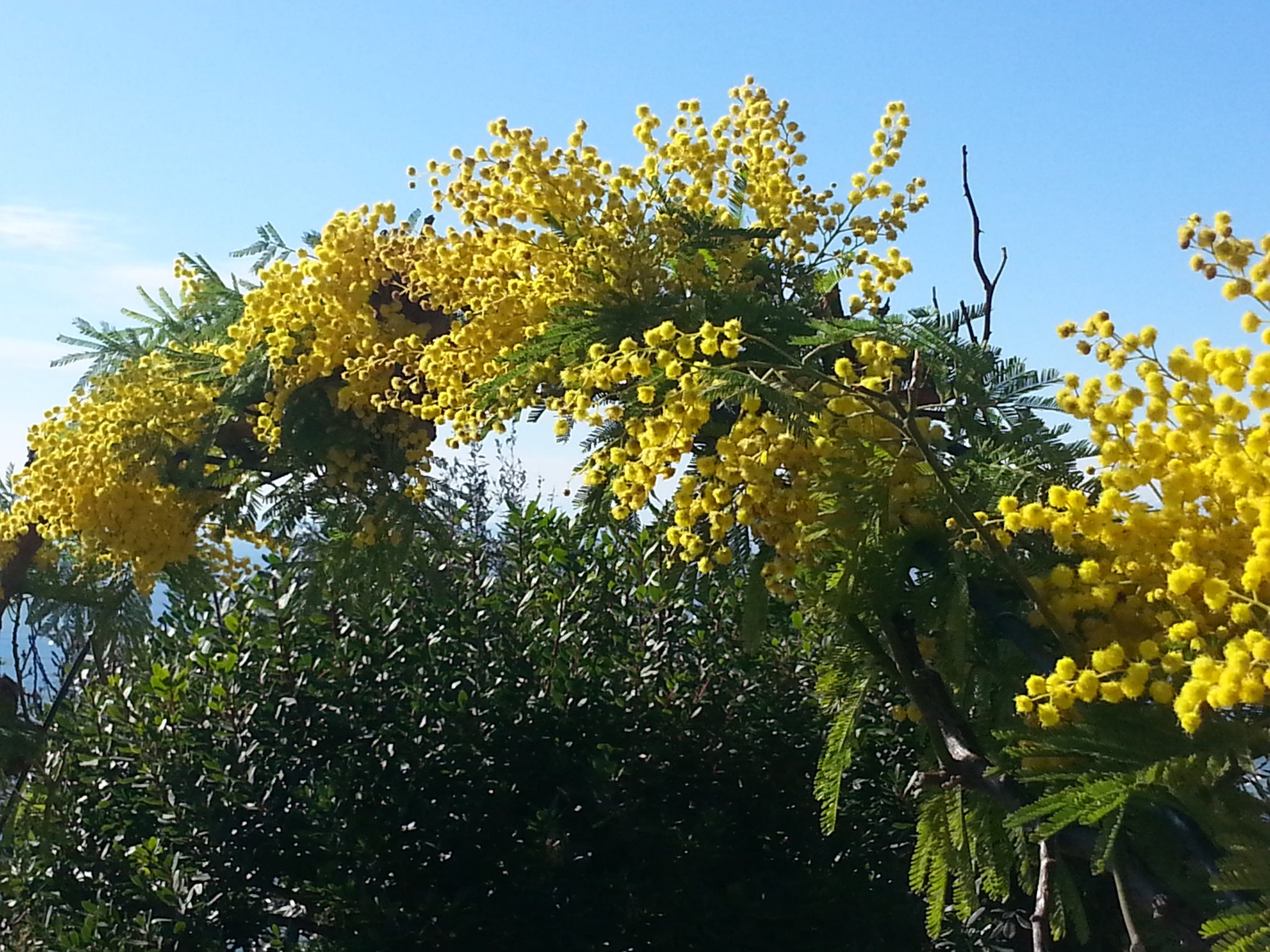 Mimosa flowers in the Italian Riviera