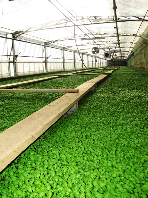 Basil Greenhouse
