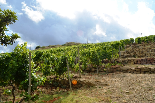 Vineyards in Liguria