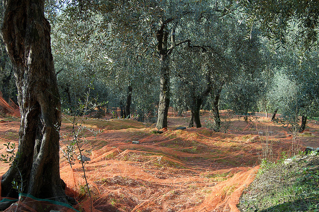 Ligurian olive oil - the olive trees [ph. credits by pay no mind]